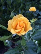 rose 2016 PRG